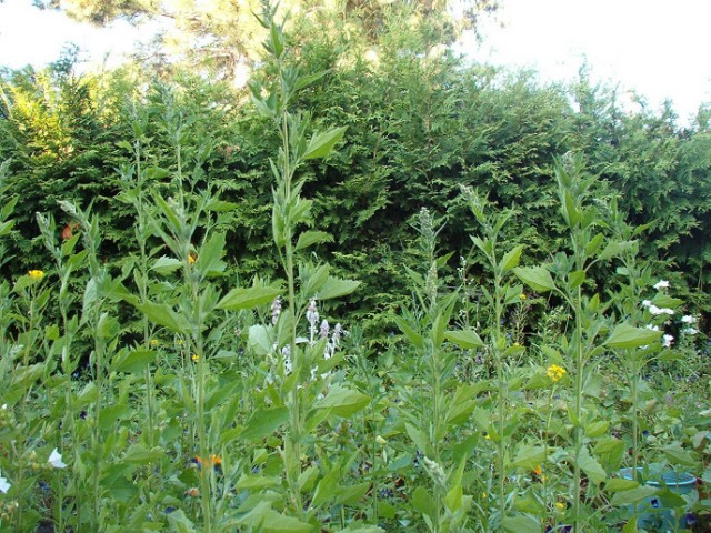 Wild Herb Potherb
